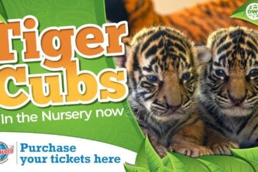 Dreamworld goes WILD over Tiger Cubs